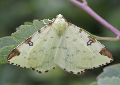 Brimstone (Opisthograptis luteolata) moth
