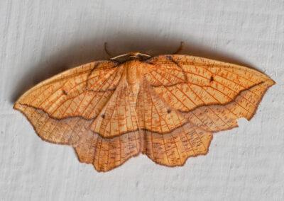 Bordered Beauty (Epione repandaria) moth