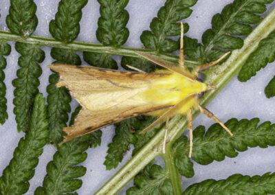 Canary Shouldered Thorn (Ennomos alniaria) moth