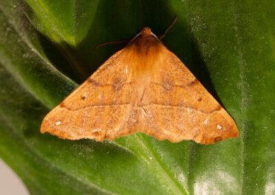 September Thorn (Ennomos erosaria) moth