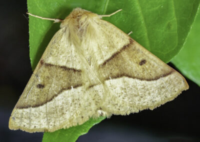 Scalloped Oak (Crocallis elinguaria) moth
