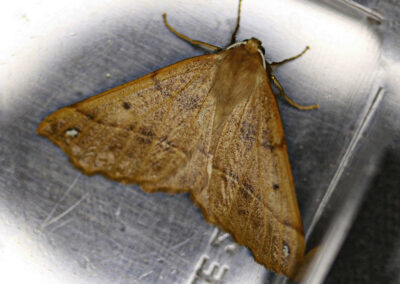 Feathered Thorn (Colotois pennaria) moth