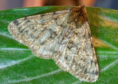 Pale Brindled Beauty (Phigalia pilosaria) moth