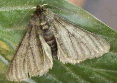 Pale Brindled Beauty - melanistic form (Phigalia pilosaria) moth