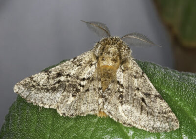 Brindled Beauty (Lycia hirtaria) moth