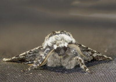 Oak Beauty (Biston strataria) moth
