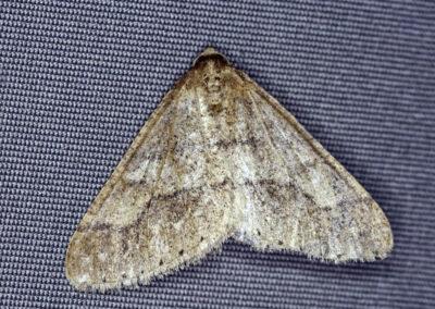 Dotted Border (Agriopis marginaria) moth