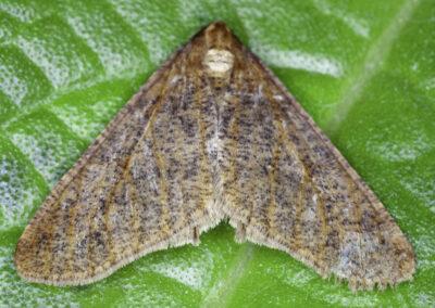 Mottled Umber (Erannis defoliaria) moth