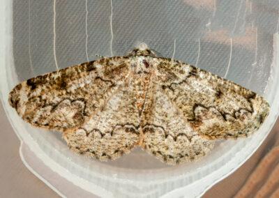 Brussels Lace (Cleorodes lichenaria) moth