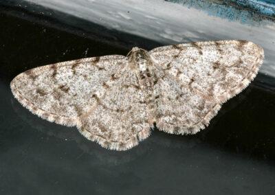 Grey Birch (Aethalura punctulata) moth