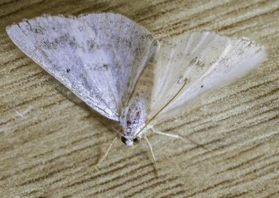 Clouded Silver (Lomographa temerata) moth