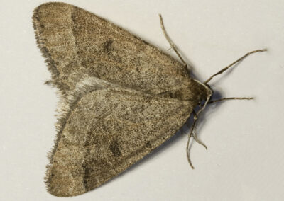 Early Moth (Theria primaria)