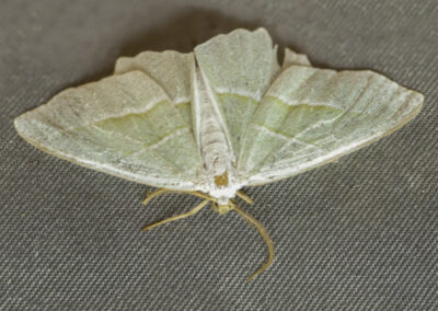 Light Emerald (Campaea margaritata) moth