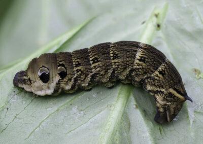 Elephant Hawkmoth (Deilephila elpenor) larva