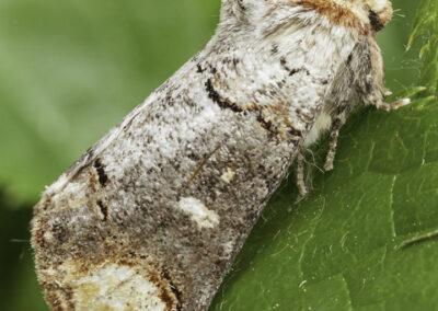 Buff Tip (Phalera bucephala) moth