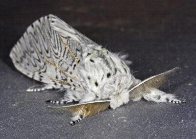 Puss Moth (Cerura vinula)