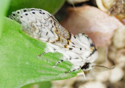 Sallow Kitten (Furcula furcula) moth