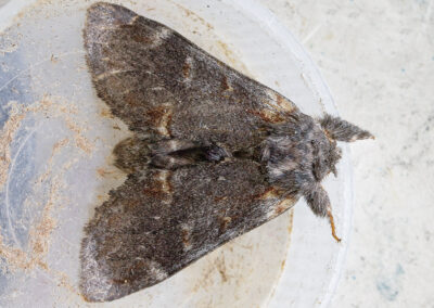 Iron Prominent (Notodonta dromedarius) moth