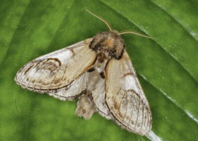 Pebble Prominent (Notodonta ziczac) moth