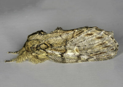 Great Prominent (Peridea anceps) moth