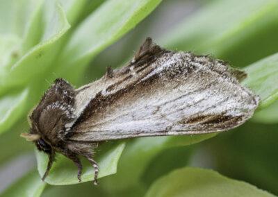 Swallow Prominent (Pheosia tremula) moth