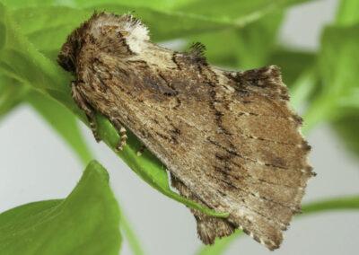 Coxcomb Prominent (Ptilodon capucina) moth