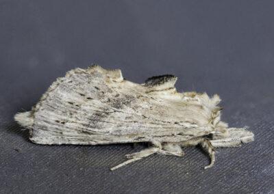 Pale Prominent (Pterostoma palpina) moth