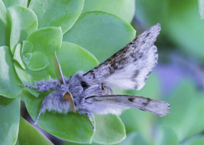 Pale Tussock (Calliteara pudibunda) moth