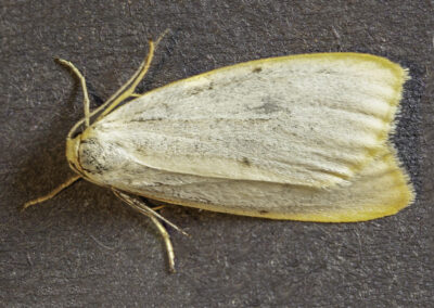 Four-Dotted Footman (Cybosia mesomella) moth