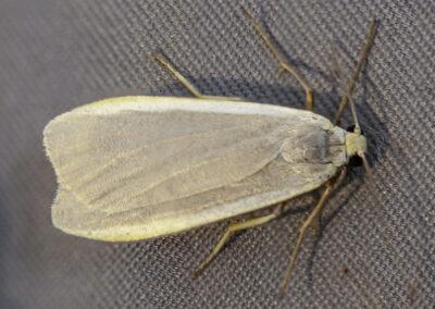 Dingy Footman ♂ (Eilema griseola) moth