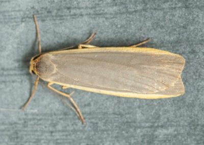 Common Footman (Eilema lurideola) moth