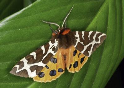 Garden Tiger (Arctia caja) moth