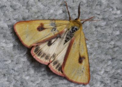 Clouded Buff (Diacrisia sannio) moth