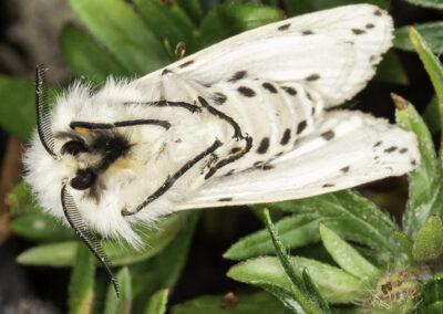 White Ermine (Spilosoma lubricipeda) moth (underside)