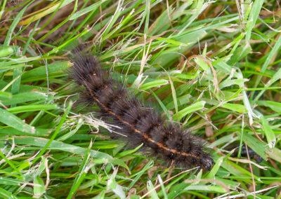 White Ermine (Spilosoma lubricipeda) larva