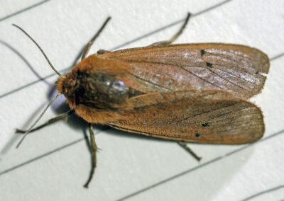 Ruby Tiger (Phragmatobia fuliginosa fuliginosa) moth