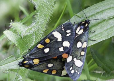 Scarlet Tiger (Callimorpha dominula) moth