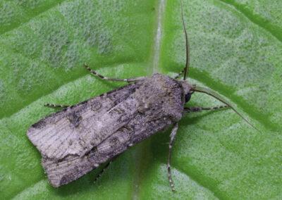 Turnip Moth (Agrotis segetum) moth