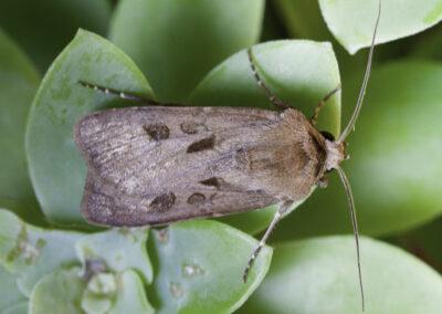 Heart & Dart (Agrotis exclamationis) moth