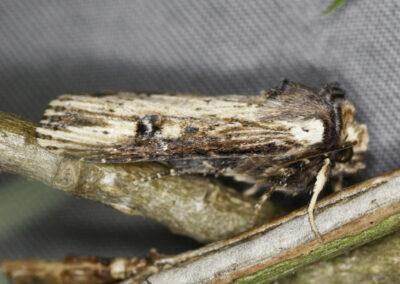Flame (Axylia putris) moth