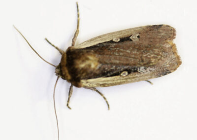 Flame Shoulder (Ochropleura plecta) moth