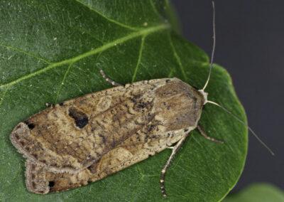 Large Yellow Underwing (Noctua pronuba) moth