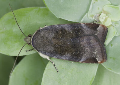 Lesser Broad-bordered Yellow Underwing (Noctua janthe) moth