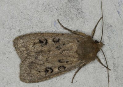 ouble Dart (Graphiphora augur) moth