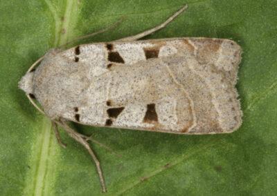 Autumnal Rustic (Eugnorisma glareosa) moth
