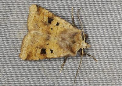 Ingrailed Clay (Diarsia mendica mendica) moth