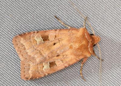 Small Square-spot (Diarsia rubi) moth