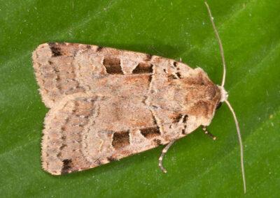 Double Square-spot (Xestia triangulum) moth