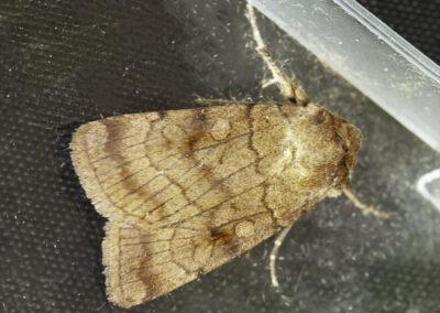 Six-striped Rustic (Xestia sexstrigata) moth