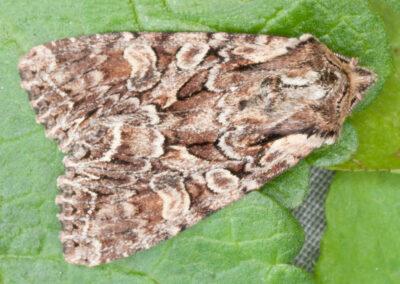 Beautiful Brocade (Laconobia contigua) moth